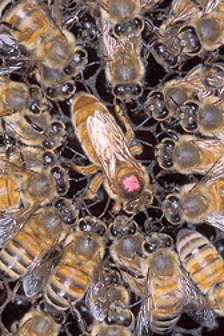 labeille-tueuse-killer-bees-entre-aux-etats-unis/africanized-bee6-1-jpg.jpeg