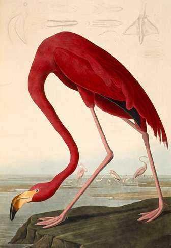 deces-john-james-audubon/audubon-flamingo24.jpg
