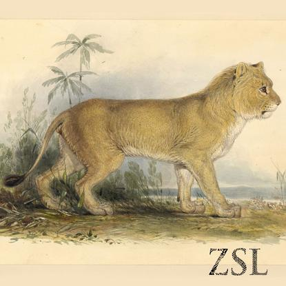 naissance-edward-lear/edward-lear-asian-lion-14477-jpg.jpeg