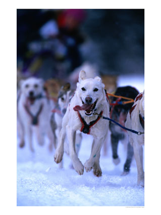 sports-course-de-traineaux-a-chiens-aux-olympiques/sled-dog-racing-anchorage.jpg