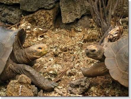 decouverte-des-iles-galapagos/deux-tortues-geantes-galapagos4.jpg