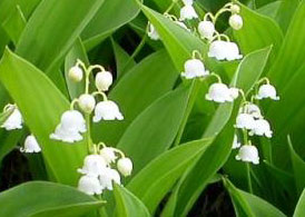 en-france-cest-la-fete-du-muguet/lily-of-the-valley4333.jpg